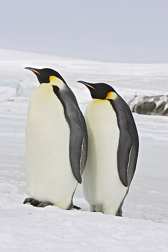 BRD 05 WF0064 01 © Kimball Stock Two Emperor Penguins Standing On Ice