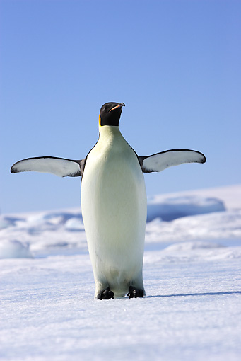 BRD 05 WF0066 01 © Kimball Stock Emperor Penguin Standing On Ice Flapping Wings