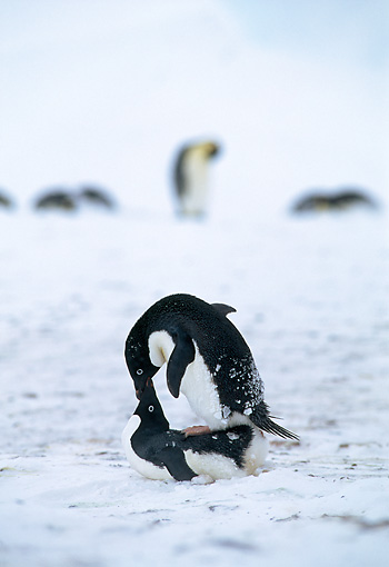 BRD 05 WF0073 01 © Kimball Stock Two Adelie Penguins Mating In Snow Antarctica