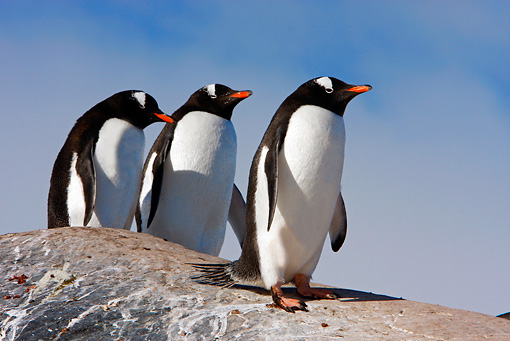 BRD 05 DB0003 01 © Kimball Stock Three Gentoo Penguins Standing On Rock Antarctica