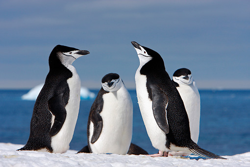 BRD 05 DB0004 01 © Kimball Stock Four Chinstrap Penguins Standing On Ice Antarctica