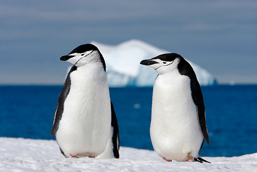 BRD 05 DB0005 01 © Kimball Stock Two Chinstrap Penguins Standing On Ice Antarctica