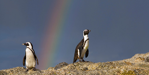 BRD 05 KH0003 01 © Kimball Stock African Penguins (aka Black-Footed Penguin) Standing On Rock By Rainbow