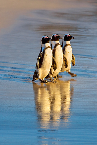 BRD 05 KH0008 01 © Kimball Stock Three African Penguins (aka Black-Footed Penguin) Walking On Beach