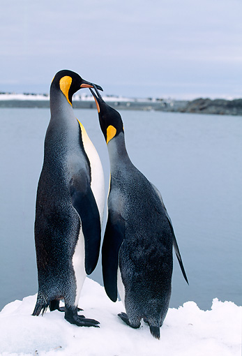 BRD 05 LS0001 01 © Kimball Stock Two King Penguins Standing On Snow By Water