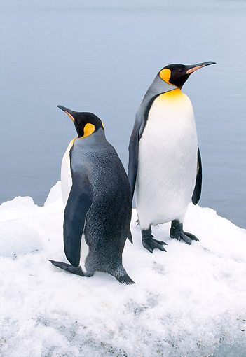 BRD 05 LS0002 01 © Kimball Stock Two King Penguins Standing On Snow By Water