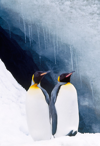 BRD 05 LS0003 01 © Kimball Stock Two King Penguins Standing On Snow By Water