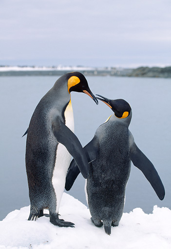 BRD 05 LS0004 01 © Kimball Stock Two King Penguins Standing On Ice By Ocean