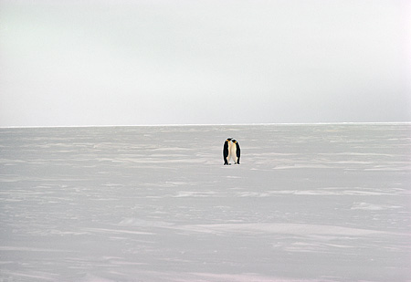 BRD 05 MR0003 01 © Kimball Stock Distant Shot Of Two Penguins On Snow Antarctica