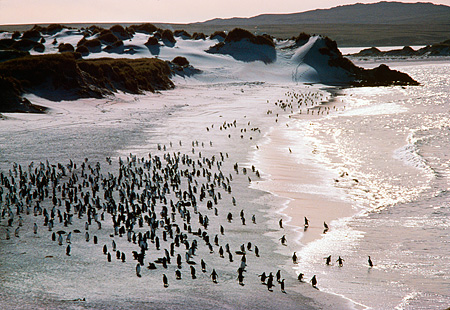 BRD 05 MR0008 01 © Kimball Stock Overhead Colony Of Penguins On Beach Falkland Island