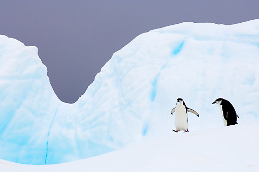 BRD 05 SK0002 01 © Kimball Stock Two Chinstrap Penguins Walking On Glacial Ice Antarctica