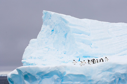 BRD 05 SK0003 01 © Kimball Stock Chinstrap And Gentoo Penguins Standing On Iceberg Antarctica