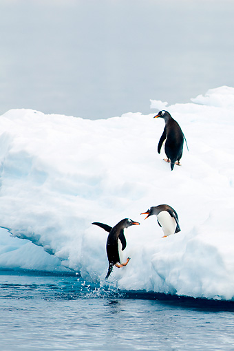 BRD 05 SK0004 01 © Kimball Stock Gentoo Penguins Leaping Onto Glacial Ice From Ocean Antarctica