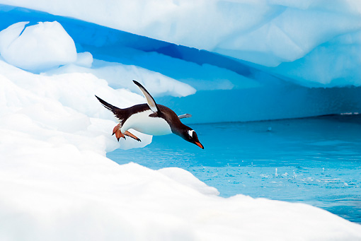 BRD 05 SK0005 01 © Kimball Stock Gentoo Penguin Diving From Glacial Ice Antarctica