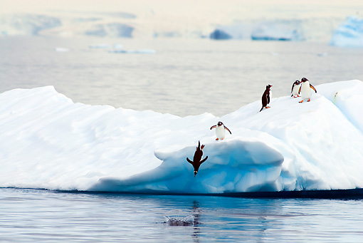 BRD 05 SK0006 01 © Kimball Stock Gentoo Penguins Diving From Glacial Ice Into Ocean Antarctica