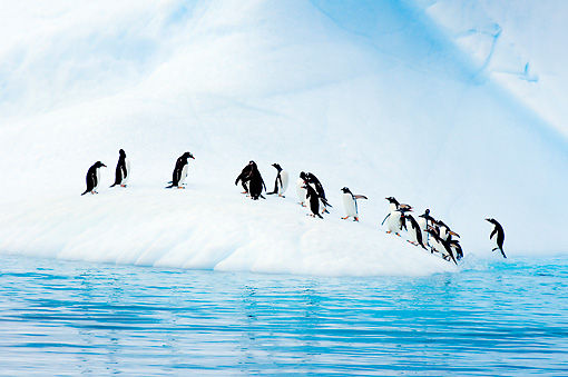 BRD 05 SK0007 01 © Kimball Stock Gentoo Penguins Emerging From Ocean Onto Glacial Ice Antarctica