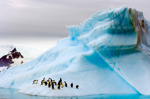 BRD 05 SK0008 01 © Kimball Stock Gentoo Penguins Huddling On Glacial Ice Antarctica