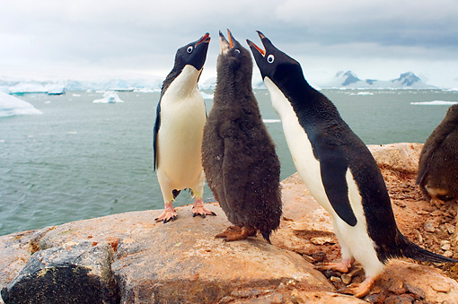 BRD 05 SK0011 01 © Kimball Stock Two Adelie Penguin Adults Vocalizing With Chick On Rocky Peak Antarctica
