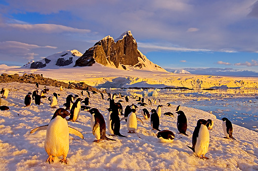BRD 05 SK0012 01 © Kimball Stock Adelie Penguin Colony Congregating On Snow Antarctica