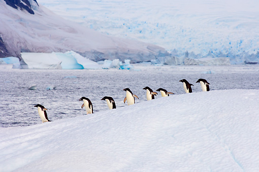 BRD 05 SK0014 01 © Kimball Stock Gentoo Penguins Waddling On Glacial Ice Antarctica