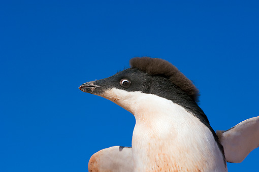 BRD 05 SK0015 01 © Kimball Stock Close-Up Of Adelie Penguin Flapping Blue Sky Antarctica