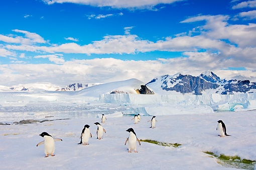 BRD 05 SK0019 01 © Kimball Stock Adelie Penguins Walking On Glacial Ice Antarctica