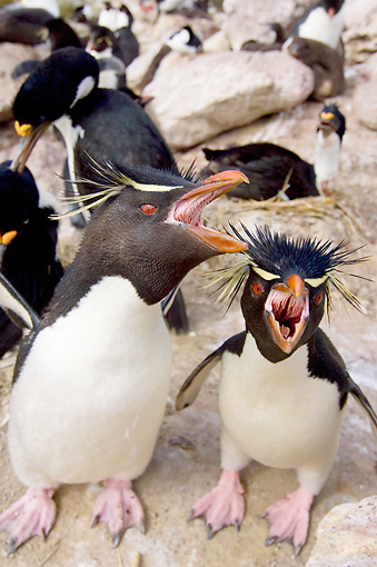 BRD 05 SK0025 01 © Kimball Stock Macaroni Penguins Protecting Chicks In Rookery Falkland Islands South Atlantic Ocean