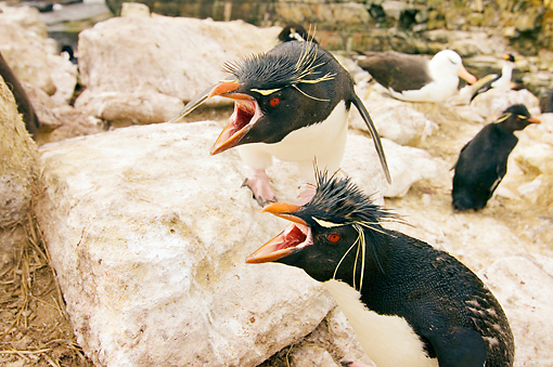 BRD 05 SK0026 01 © Kimball Stock Macaroni Penguins Protecting Chicks In Rookery Falkland Islands South Atlantic Ocean