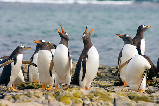 BRD 05 SK0031 01 © Kimball Stock Gentoo Penguins Congregating On Rocks By Water Falkland Islands South Atlantic Ocean