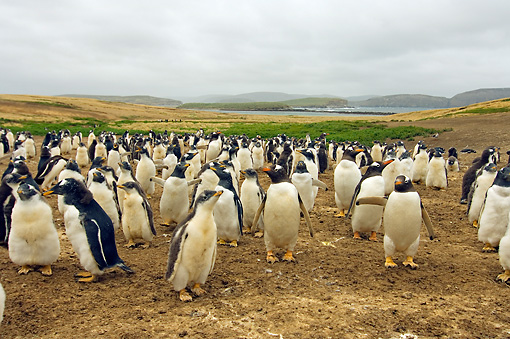 BRD 05 SK0033 01 © Kimball Stock Gentoo Penguins Standing In Rookery Falkland Islands South Atlantic Ocean
