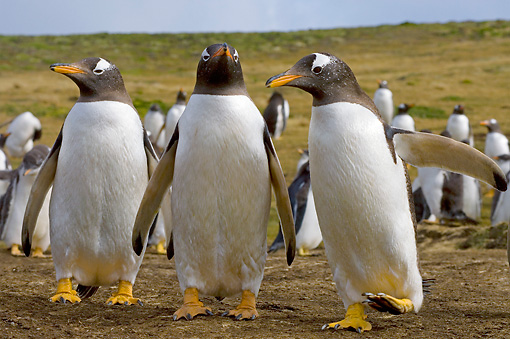 BRD 05 SK0035 01 © Kimball Stock Gentoo Penguins Standing In Rookery Falkland Islands South Atlantic Ocean