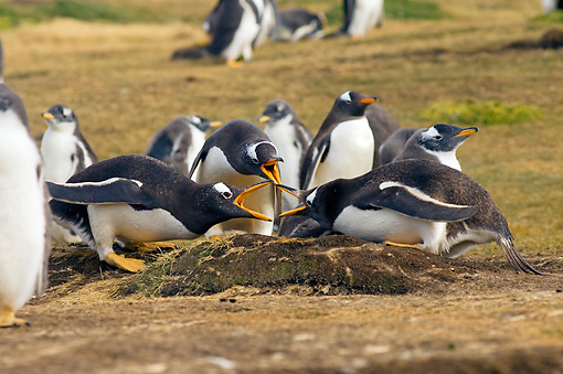BRD 05 SK0036 01 © Kimball Stock Gentoo Penguins Vocalizing By Nest In Rookery Falkland Islands South Atlantic Ocean