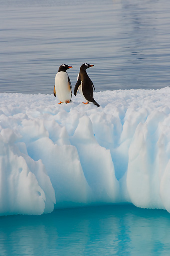 BRD 05 SK0049 01 © Kimball Stock Gentoo Penguins Standing On Glacial Ice Southern Ocean Antarctica