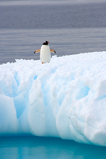 BRD 05 SK0050 01 © Kimball Stock Gentoo Penguin Standing On Glacial Ice Southern Ocean Antarctica