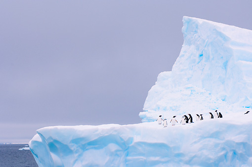 BRD 05 SK0053 01 © Kimball Stock Chinstrap And Gentoo Penguins Standing On Iceberg Antarctica