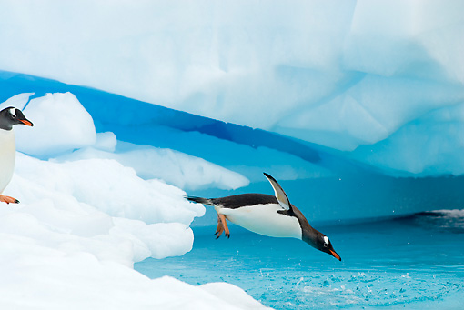 BRD 05 SK0054 01 © Kimball Stock Gentoo Penguin Diving From Glacial Ice Antarctica