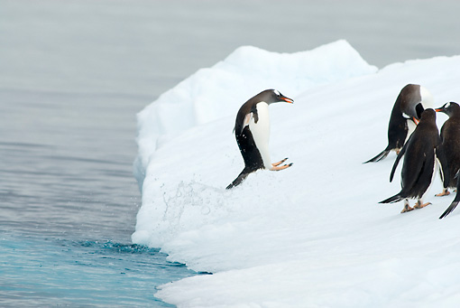 BRD 05 SK0056 01 © Kimball Stock Gentoo Penguins Leaping Onto Glacial Ice From Ocean Antarctica