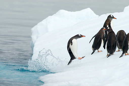 BRD 05 SK0057 01 © Kimball Stock Gentoo Penguins Leaping Onto Glacial Ice From Ocean Antarctica
