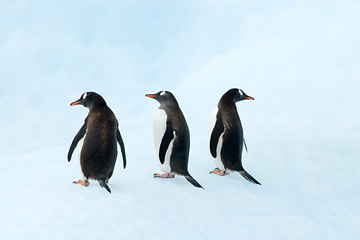 BRD 05 SK0058 01 © Kimball Stock Gentoo Penguins Standing On Glacial Ice Antarctica
