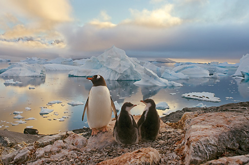 BRD 05 SK0061 01 © Kimball Stock Gentoo Penguin Huddling With Two Chicks On Rocky Peak Antarctica