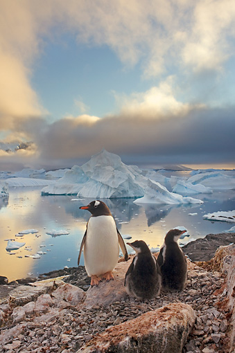BRD 05 SK0062 01 © Kimball Stock Gentoo Penguin Huddling With Two Chicks On Rocky Peak Antarctica