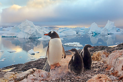 BRD 05 SK0063 01 © Kimball Stock Gentoo Penguin Huddling With Two Chicks On Rocky Peak Antarctica