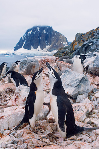 BRD 05 SK0064 01 © Kimball Stock Chinstrap Penguins Vocalizing On Rocky Shore Antarctica