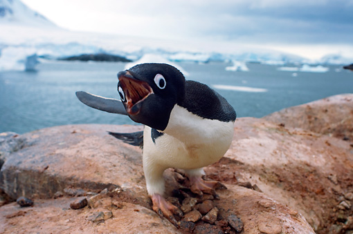 BRD 05 SK0065 01 © Kimball Stock Adelie Penguin Vocalizing On Rock Nest Antarctica