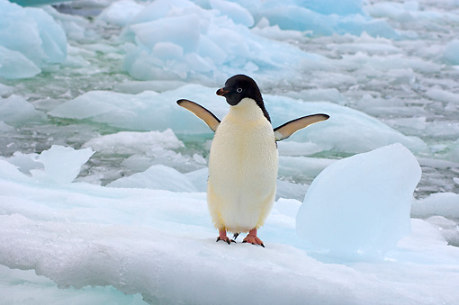 BRD 05 SK0067 01 © Kimball Stock Adelie Penguin Flapping On Glacial Ice Antarctica