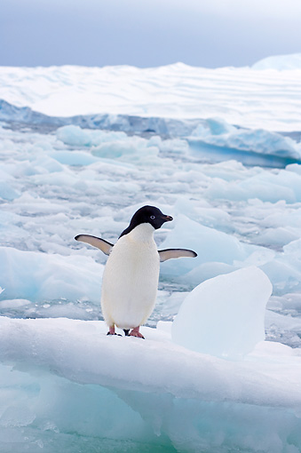 BRD 05 SK0068 01 © Kimball Stock Adelie Penguin Flapping On Glacial Ice Antarctica