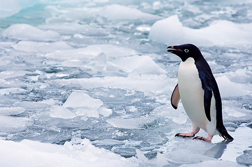 BRD 05 SK0069 01 © Kimball Stock Adelie Penguin Standing On Glacial Ice Antarctica