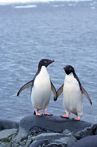 BRD 05 SK0070 01 © Kimball Stock Adelie Penguins Standing On Rock By Ocean Antarctica