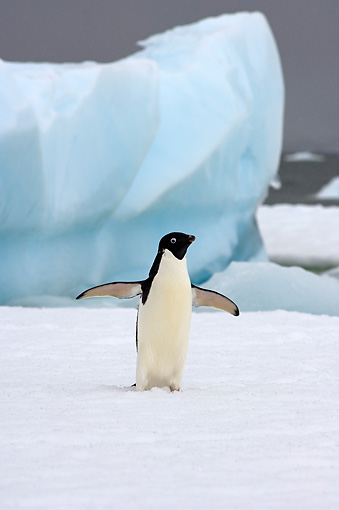 BRD 05 SK0073 01 © Kimball Stock Adelie Penguin Flapping On Sea Ice Antarctica