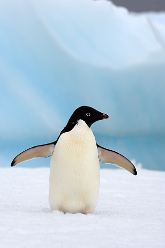 BRD 05 SK0074 01 © Kimball Stock Adelie Penguin Flapping On Sea Ice Antarctica